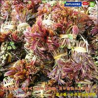 采芽红油香椿苗种植技术关键
