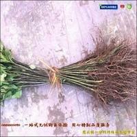 黄栀子苗种植发展模式初探,千亩黄栀子基地如何打造