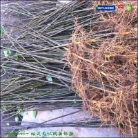黄柏苗适合哪些地方栽植?黄柏苗种植效益如何?云南适合种植黄柏树苗吗?种植技术难吗?