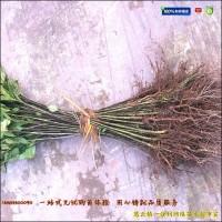 黄栀子苗|黄栀子树苗种植前景分析