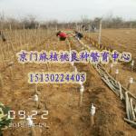2015年麻核桃树苗种植嫁接