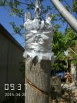 文玩麻核桃树的嫁接,大树换头