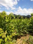 蓝天下的京门涞水文玩核桃园